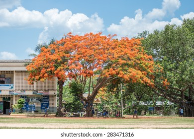 SAKONNAKHON CITY, THAILAND - MAY 29, 2015 : In the summer of every year, the Flam-boyant or he Flame Tree always springs orange flowers, and it's be well-known a beautiful tree of Thailand.