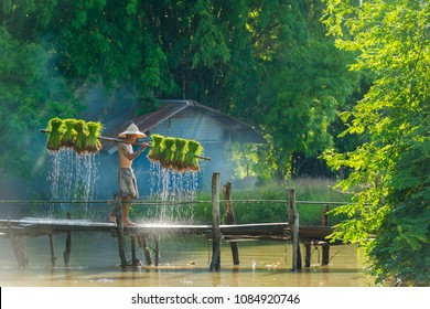 Sakonnakhon, Thailand - July 30, 2016: Farmer carrying dripping rice sprouts from small area farm to replant in rice farm in Sakonnakhon, Thailand