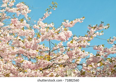 Saktura Japanese cherry tree in full blossom