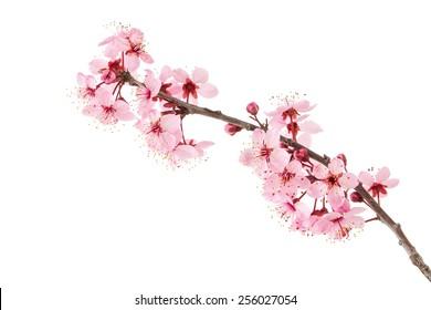 Sakura - Shutterstock ID 256027054