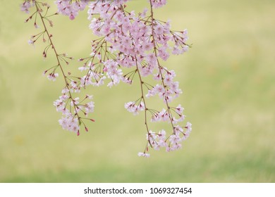 Sakura blooming in spring at Kyoto Japan background
