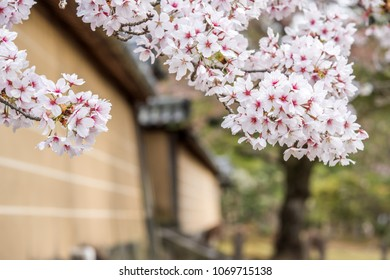 Sakura blooming spring time front of a house in Kyoto Japan background