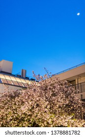 sakura blossom in April in Toyko with a darkening blue sky