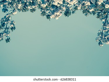 Sakura blossom background. Toned photo.