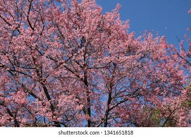 Sakura blossom with blue sky