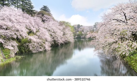 Sakura blossom in the city