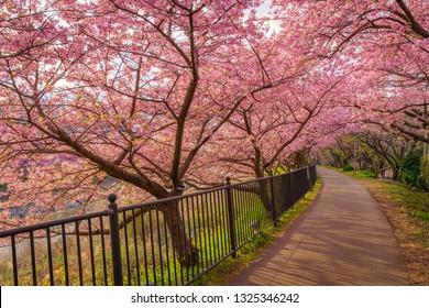 Sakura blossom (Kawazu alongside)