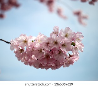 sakura blossom on background of blue sky