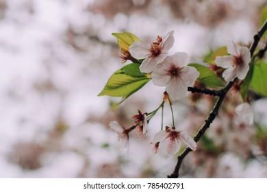 Sakura blossom season
