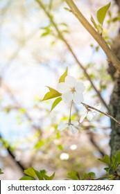 Sakura blossoms in Tokyo, background