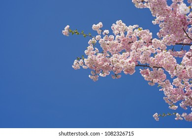 Sakura branch against the blue sky. Spring abstraction.