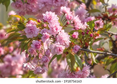 Sakura branch in blossom, beautiful springtime outdoor background