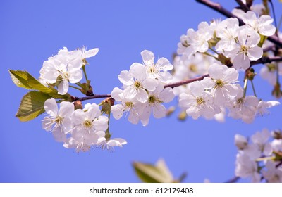 Sakura branch in early spring, spring flowers