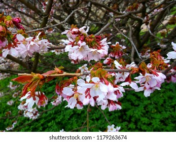 Sakura branch in the sunlight. Floriculture and gardening. The festival of Hanami