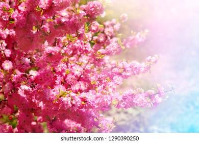 Sakura bush in soft light. Japanese cherry in spring. Cherry blossoms and soft light.