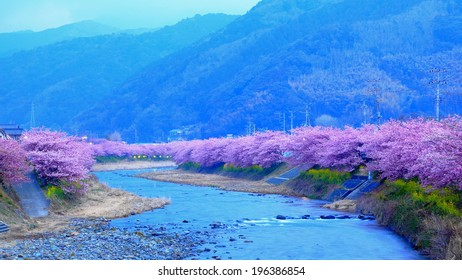 sakura cherry blossom along the river at early morning