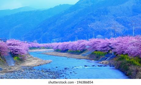 sakura cherry blossom along the river at early morning