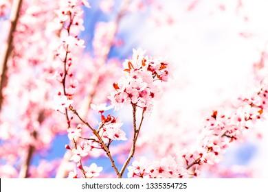 Sakura Cherry Blossom Flower