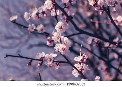 Sakura or cherry blossom flower full bloom in spring season