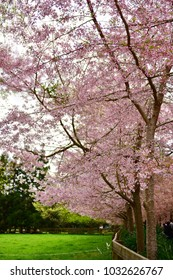 Sakura cherry blossom in a garden in Hamilton, New Zealand