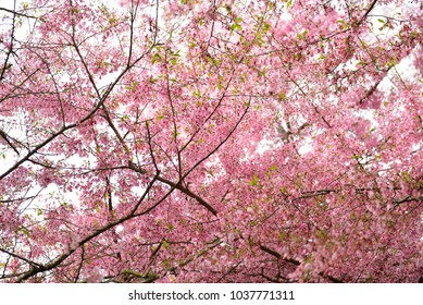 Sakura cherry blossom in a garden in Hamilton, New Zealand