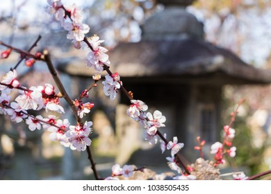 Sakura cherry blossom with Japanese background