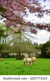 Sakura cherry blossom and llamas in a garden in Hamilton, New Zealand