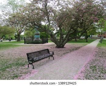 Sakura (Cherry Blossom) Petals Spreading on Floor