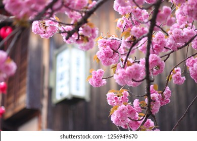 Sakura Cherry Blossom Tree blooming in Kyoto streets in Japan Background