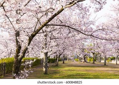 Sakura cherry blossom tree at green park