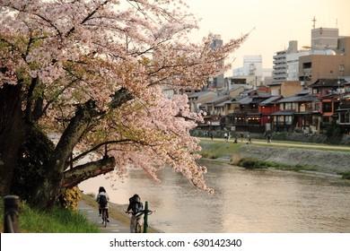 Sakura (cherry blossom trees) of Kamogawa river at evening in Kyoto, Japan