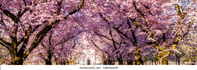 Sakura Cherry blossoming alley. Wonderful scenic park with rows of blooming cherry sakura trees in spring, banner. Pink flowers of cherry tree.