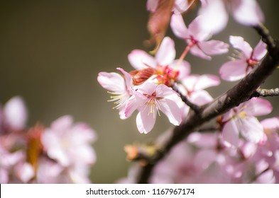 Sakura Cherry blossoms