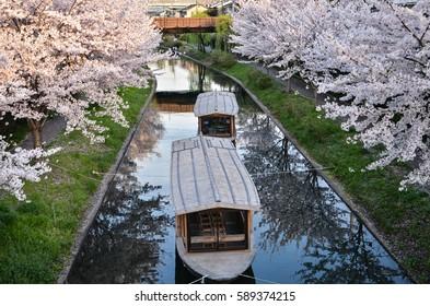 Sakura (cherry blossoms) along canal near Fushimi, Kyoto, Japan.
