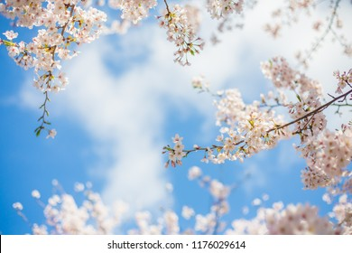 Sakura Cherry blossoms with blue sky