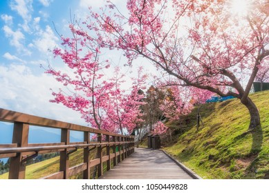 Sakura, Cherry blossoms flower, Garden walk way with beautiful pink sukura full blooming branch tree background with sunny day in spring season, Thaiwan