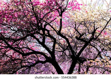 Sakura Cherry Blossoms at Japan Kyoto Haradanien Garden