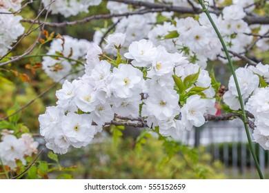 Sakura Cherry Blossoms at Japan Kyoto Gyoen National Garden