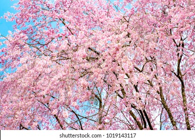 sakura cherry blossoms tree in pink color on blue sky background, turn full blooming ,full frame photo good for pink background in Japan