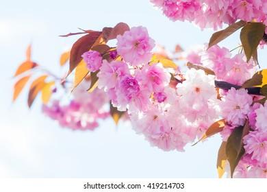Sakura cherry blossoms in a tree in spring
