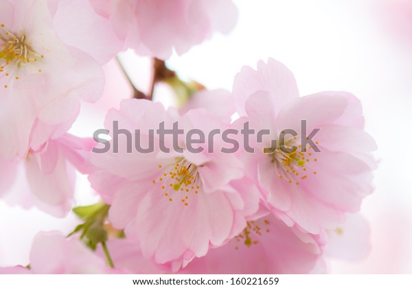 sakura cherry flower in full blossom in the spring