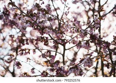 Sakura cherry tree blossom in spring morning with backlight