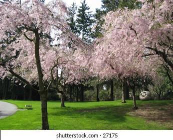 Sakura cherry trees blooming in spring at a park
