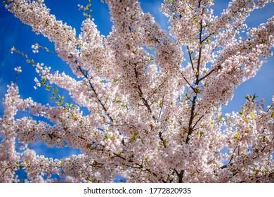 Sakura. Cherryblossom trees in Copenhagen, Denmark