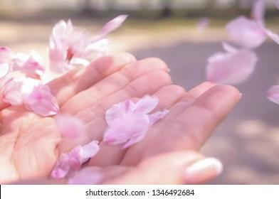 sakura, falling flower on hands, landscape of Japanese spring
