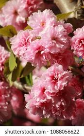 Sakura flower blooming in the spring garden