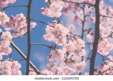 Sakura Flower or Cherry Blossom With Beautiful Nature Background on blue sky blooming in spring park - vintage film look