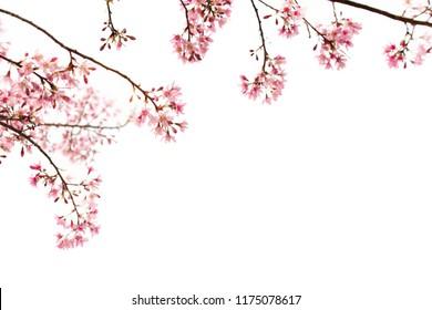 Sakura Flower, Cherry Blossom, On White Background