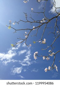 Sakura Flower with a cloud and blue sky