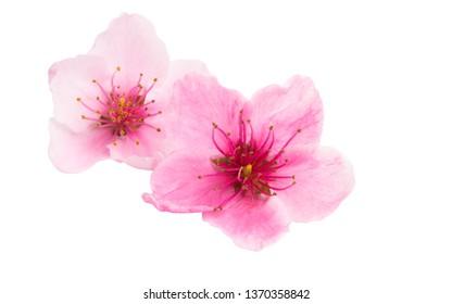 sakura flower isolated on white background